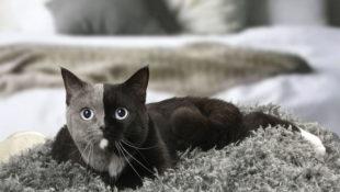 Die Katze mit den zwei Gesichtern