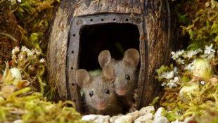 Ein Fotograf bemerkt Mäuse in seinem Garten und baut ihnen ein märchenhaftes Dorf im Kleinformat