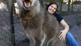 Riesiger Wolfshund wird im letzten Moment vor dem Tod gerettet