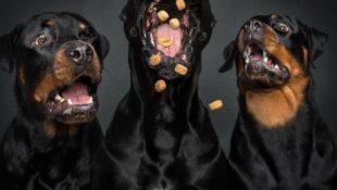 So lustig sehen Hunde aus, die Leckerlis fangen (30 neue Bilder)